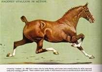 """Un Hackney """"Roadster"""" ca. 1885, de una acuarela de Leslie Mosley; tales caballo eran trotadores naturales para quienes los caminos mejorados estaban creando una demanda. Estos roadsrers eran generalmente caballos de sangre caliente, criados selectivamente para moverse en un trote elegante. (The Evolution of Many Modern Breeds of Light Horses, Tom Ryder)."""